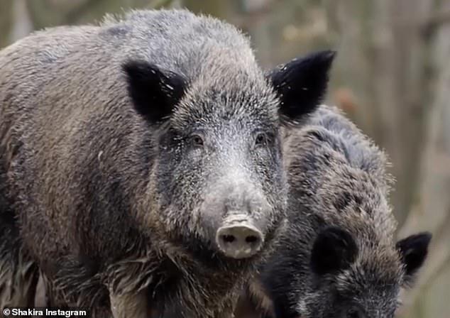 Cả Shakira và con trai Milan của cô đều không bị thương trong vụ tai nạn, do ngày càng có nhiều lợn rừng đến các thị trấn và thành phố để tìm kiếm thức ăn.